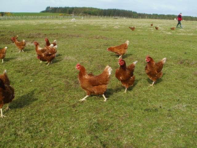 Glenkens eggs - hens